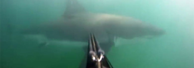 Divers Encounters Great White Shark, Uses Speargun To Defend Himself!