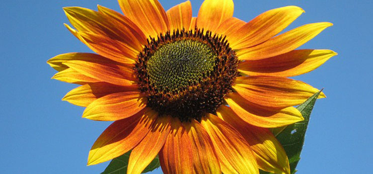 sunflower-105113_640